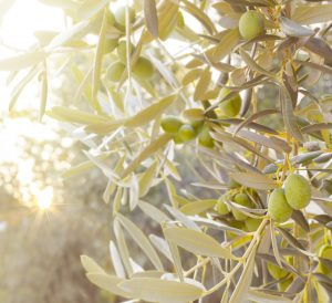 Olive tree branch.